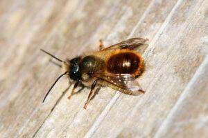 Beim Bienensterben geht es nicht um die Honigbienen