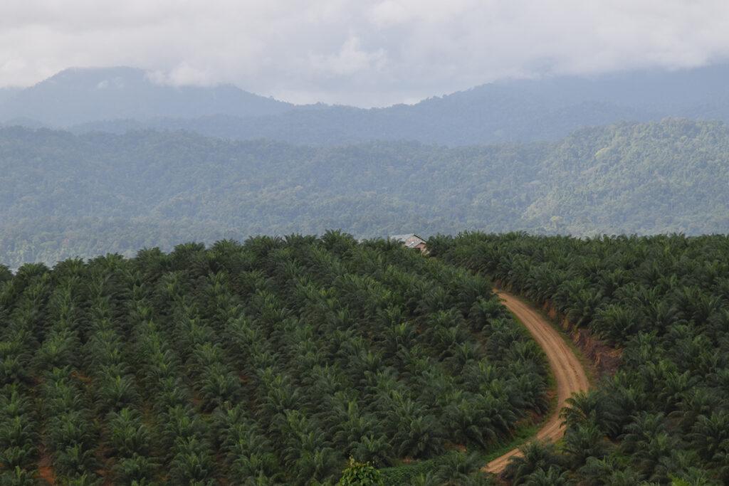 Ölpalmen indonesien
